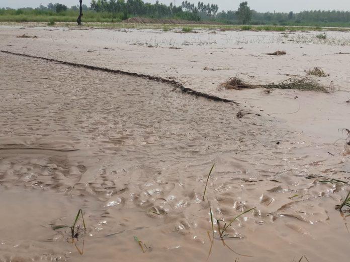 बिलासपुर में सोम नदी के समीप धान के खेतों में जमी रेत व गाद।