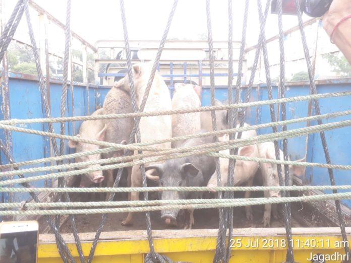 yamunanagar hulchul income from pig | Yamunanagar